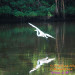 Greater Egret, Coming for a Landing
