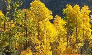 Golden Aspen Trees Rocky Mountain National Park