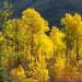 Golden Aspen's, in the Fall