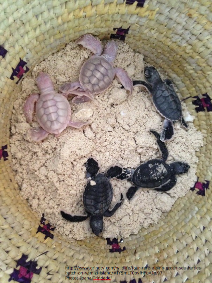 #albino greenseaturtle babies near Mozambique- hope these rare hatchlings survive to adulthood http://t.co/lDMKI8nYpb http://t.co/0AcvYgHWKj