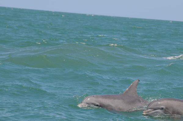 """IndianRiverLagoon study: in narrow bodies of water #dolphins form """"small-town"""" social networks http://t.co/7BT9KjXFHx http://t.co/mza1FAYltH"""