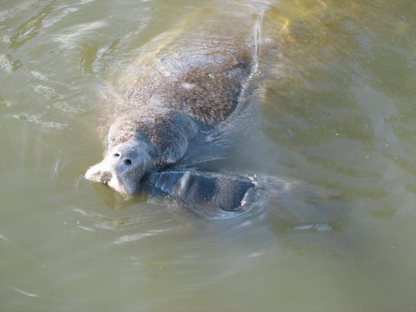 #Manatees only breathe through their nostrils! Their lungs are 2/3rds the length of its body which helps them float! http://t.co/X2LC0D5iBF