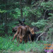 Twin Moose Calves