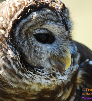 Barred Owl-RoadTrek TV-Travel Doctor-Trail of Highways-Content Marketing-Social Media-Branding-RoadTreking-Branding-Bird watching-Raptor-