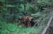 Moose Calves 2