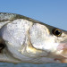 Expand Your Snook Fishing with Electric Outboards