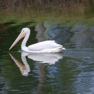 White Pelican in Serenity