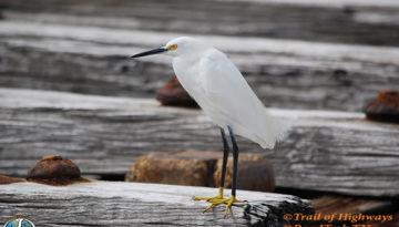 Snowy Egret-Coastal Ridge-Ana Maria Island-Florida-Trail of Highways-RoadTrek TV-Get Lost in America-Organic-Content-Marketing-Social-Media-Travel-Branding-Birdwatching-2