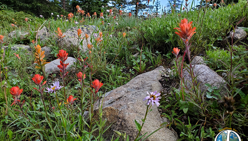 Wildflowers are in full bloom and carpet the forest floor, Paint Brushes here on the mountain side