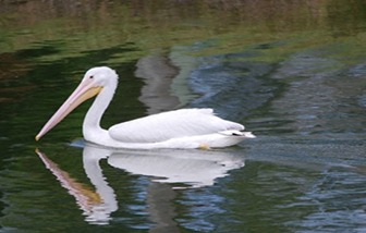 white-pelican-461x461-ad