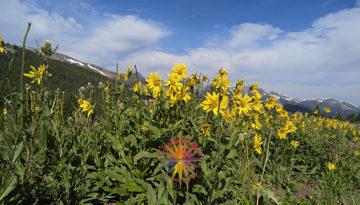 Boreas Pass sunflowers rocky mountains