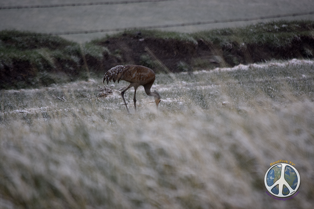 Sandhill Crane, wet yet not bothered by the spring snow or me, enjoying breakfast on the beautiful dawn