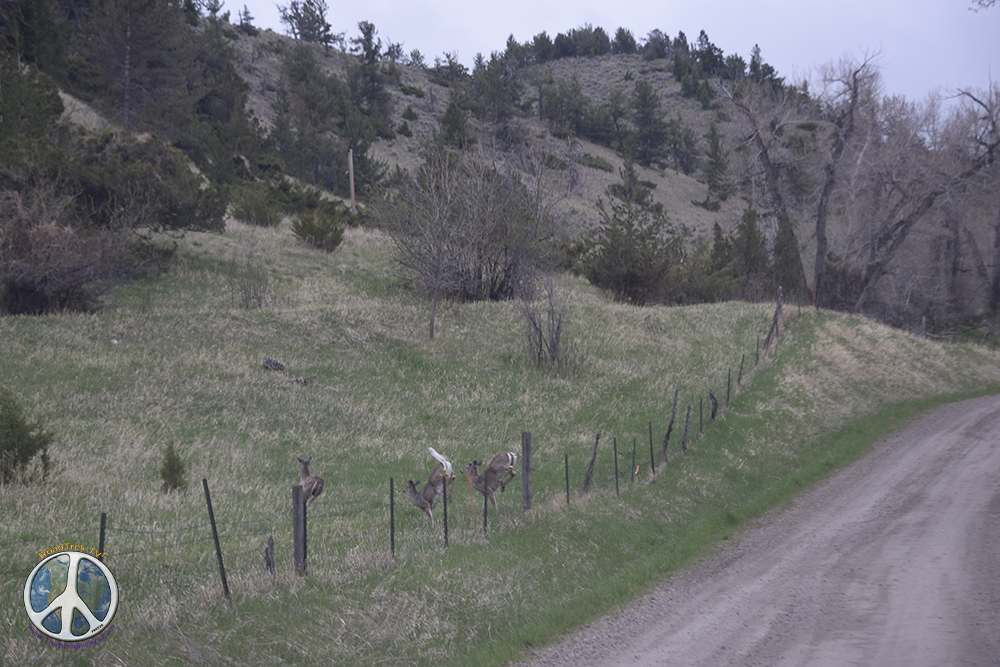 Whitetail deer making there leap of safety faith over the fence to just stop and look back