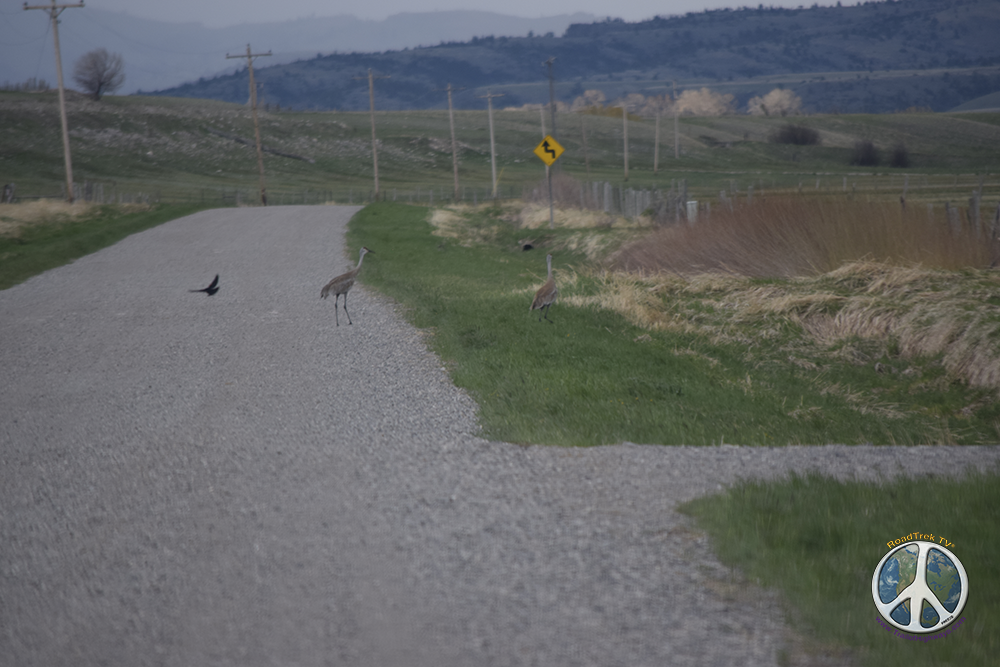 As we travel down Old Boulder Road, Sandhill Cranes come begin to come into focus, as a Raven passes through