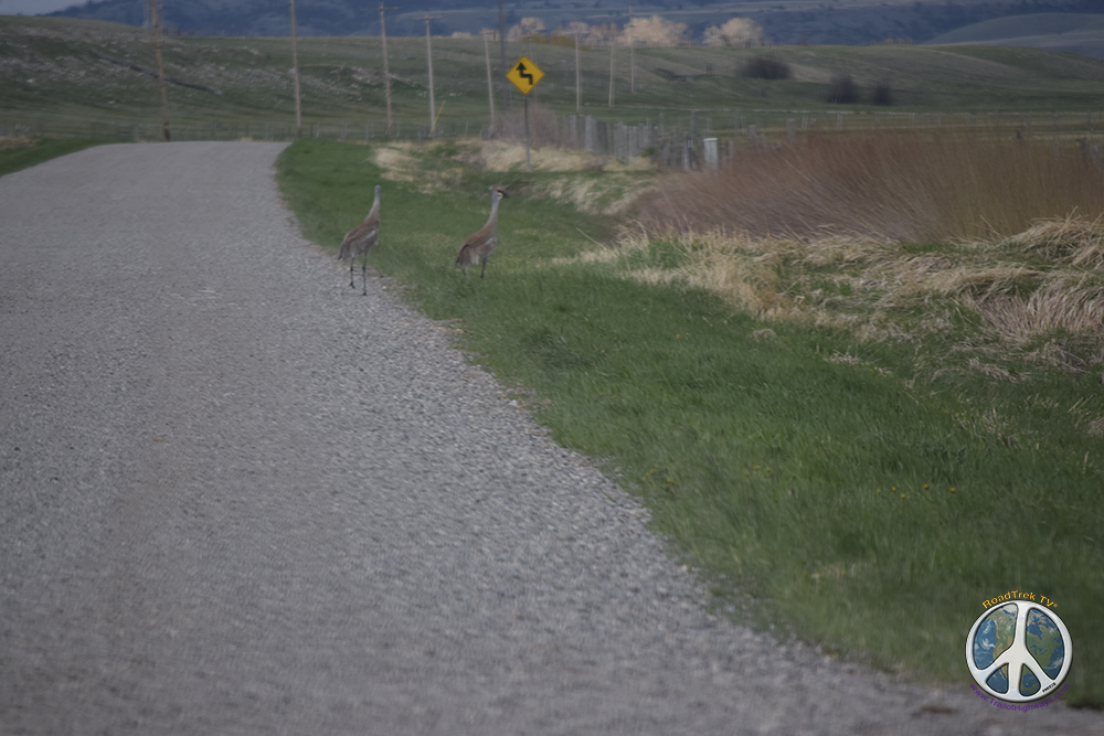 Sandhill Cranes followed each other doing a dance of affection before taking flight