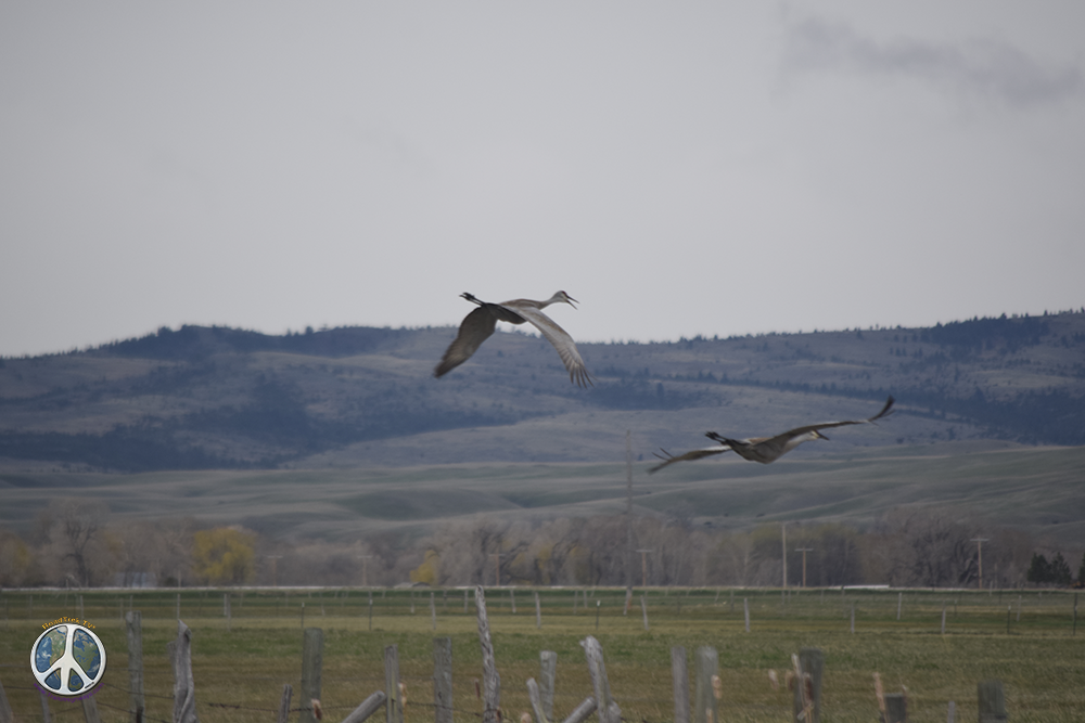 Sandhill Cranes taking flight to hop the fence, wings instead of jumping, beautiful to watch