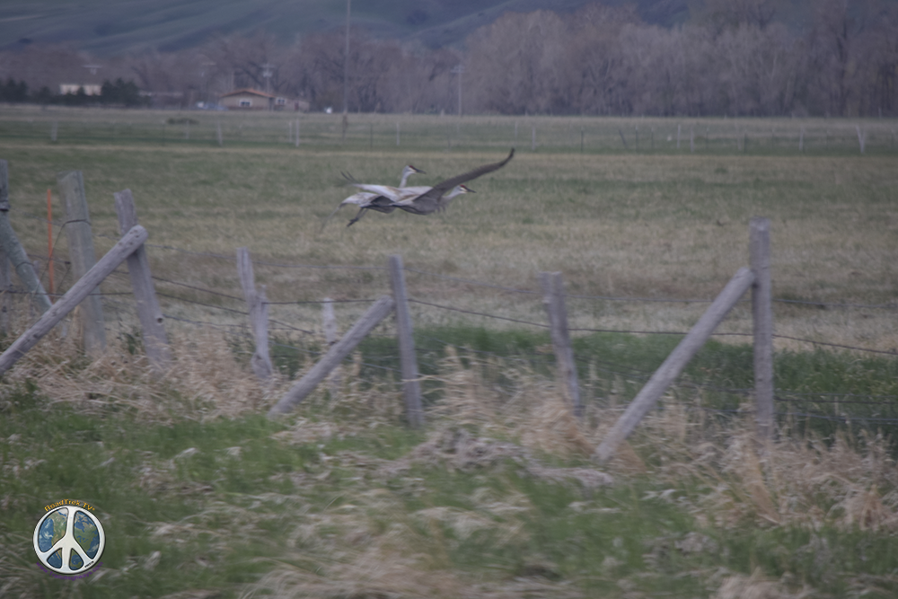 Sandhill Cranes touching down on the other side of the fence, the illusion of safety